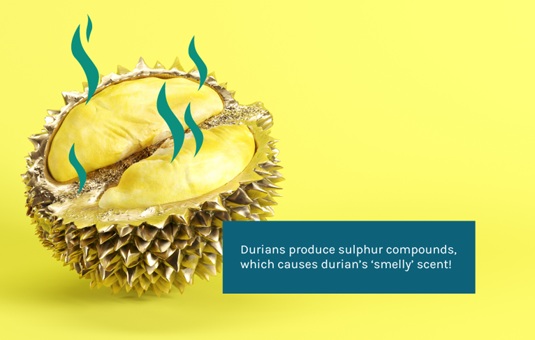 behind the smell of durian