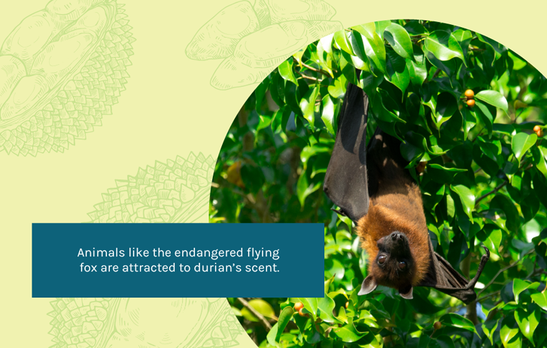 flying fox attracted to durian's scent