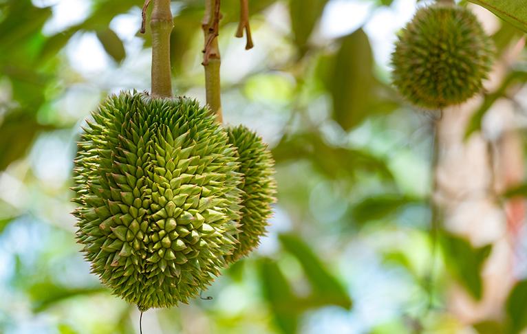 Durian Varieties