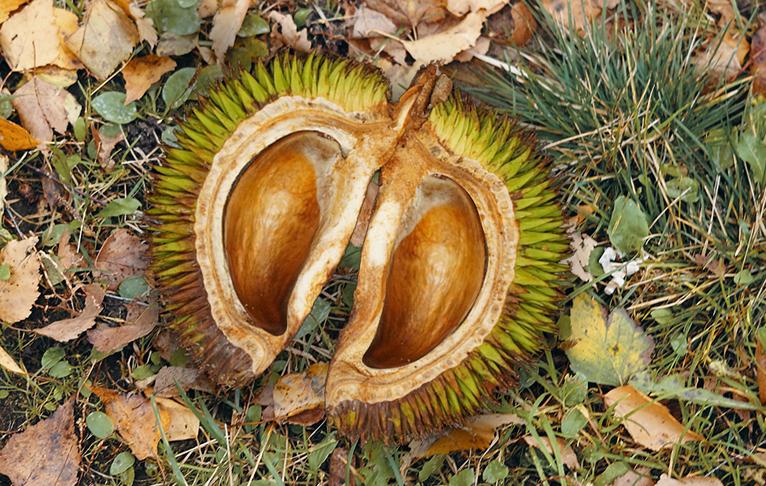 Singapore Durian